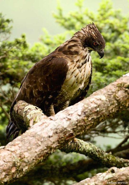 Wakao Kumataka Graphics:鋭い視線の雌成鳥