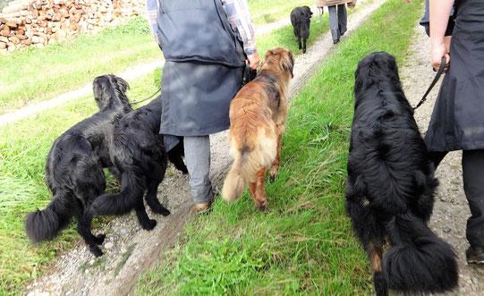 Fussgehen Hunde Hovawart Leinenführigkeit
