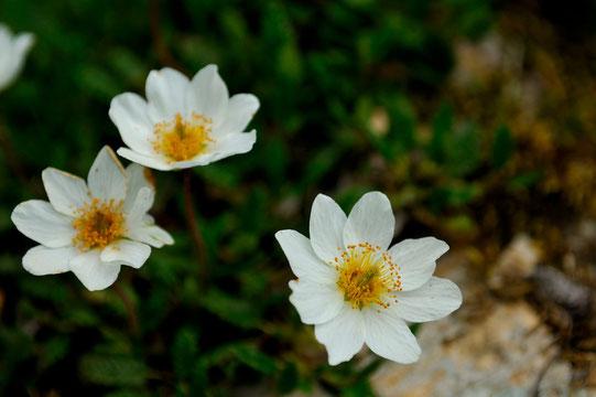 _DSC5264-dryade à huit pétales-Dryas octopetala-Rosaceae