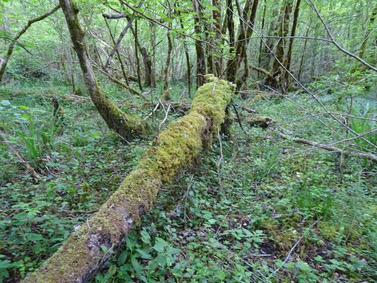 Vieille forêt et zone humide à sauvegarder au Bager d'Oloron par ACCOB - www.foret-bager.fr