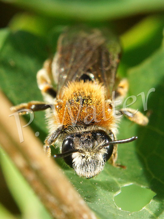 Bild: Rotbürstige Sandbiene, Andrena haemorrhoa