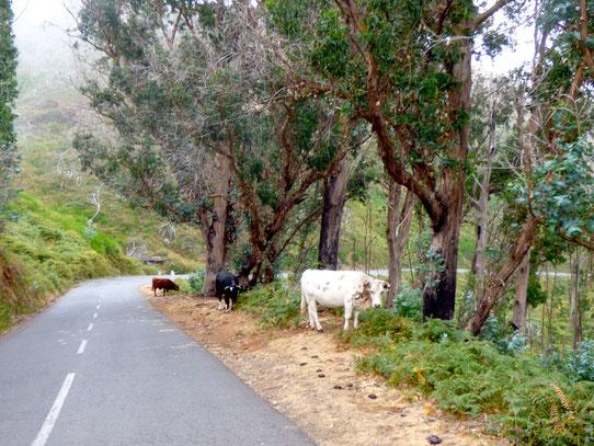 Madeira - Kurvige Straßen und freilaufende Kühe