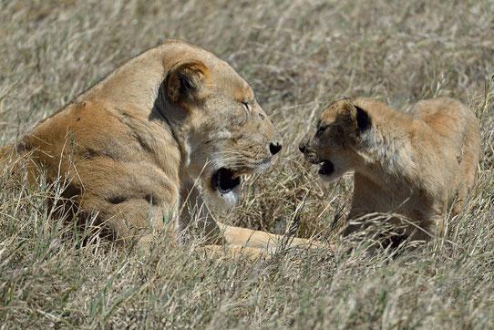 Leonessa e cucciolo nel Ngorongoro