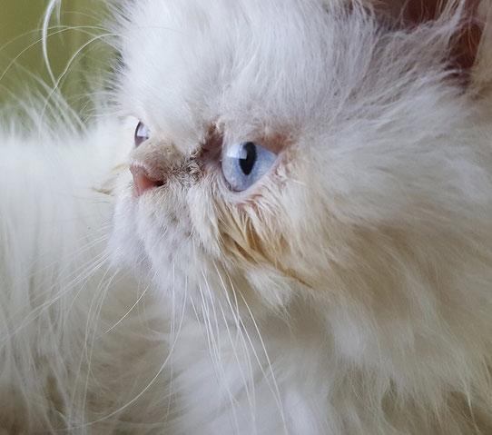 Perserkatze mit Brachyzephalie, Foto: Pixabay.com