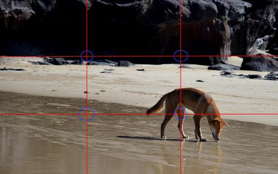 Un dingo sur la plage de Fraser Island, Australie