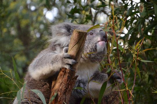 Koala dans le sanctuaire de Healesville !