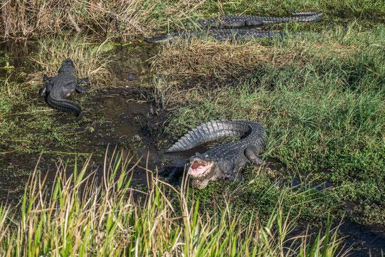 Les Everglades En Floride !