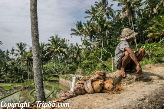Un marchand de noix de coco ! Du producteur au consommateur !