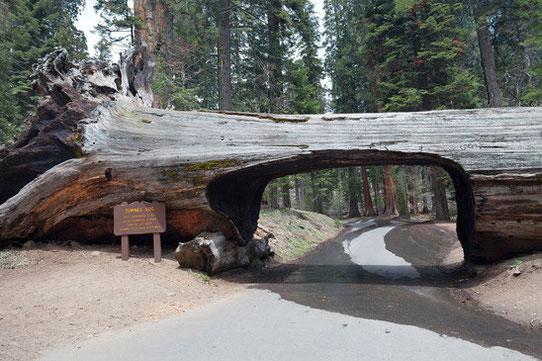 Sequoia National Park - Tunnel dans un arbre
