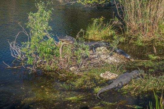 Les alligators qui se prélassent au soleil sur l'Anhinga Trail