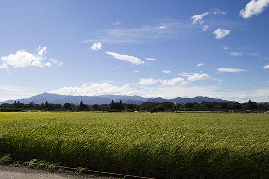 座間市新田宿にある池上さんの「神力」。丈が長いのが特徴で、収穫時には胸下まで穂が伸びている。(9月上旬)