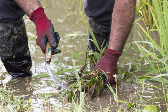 しっかりと根を伸ばした雑草は重たい。広い田んぼでは抜いても抜いても、まだまだやるべき場所がある・・・
