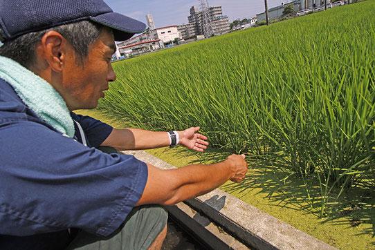 さがみ酒米研究会・会長の池上貴明さん。以前は山田錦なども栽培していたが、今は需要が増してきた「神力」一本。