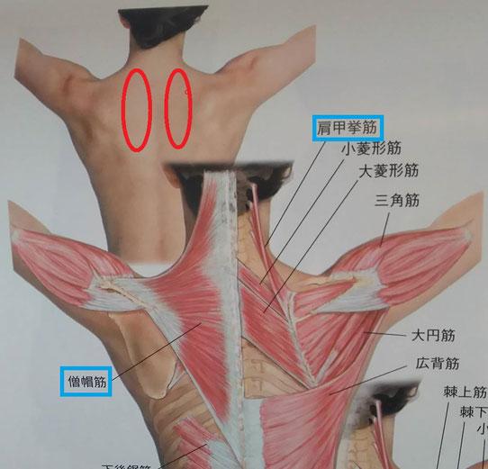 クリニカルマッサージより  赤〇が痛みの出る範囲