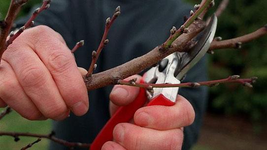 обрезка плодовых деревьев в Подмосковье