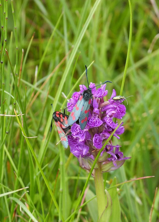 Moths and orchid, Isle of Islay, Scotland