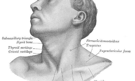 A che cosa serve e come funziona la tiroide