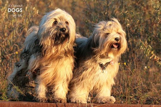 Tibet Terrier Rüde Chiru (links) & Tibet Terrier Hündin Socke (rechts)