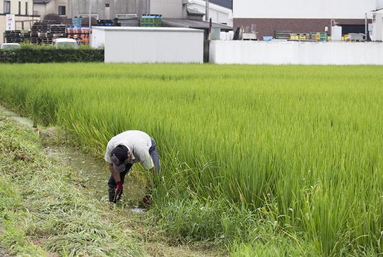 田んぼ沿いに生えた雑草を鎌で刈っているのは、栽培醸造部の高橋靖拡さん。