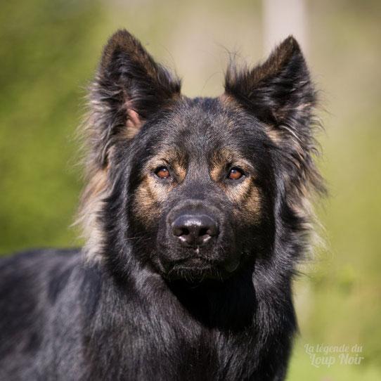 chien loup noir