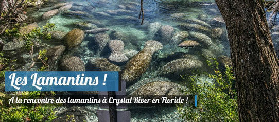 Les lamantins à Crystal River !