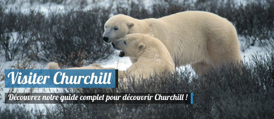 Ours Polaires dans le Nord du Canada - Copyright : Travel Manitoba