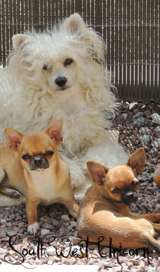 chihuahua lof chien chiot elevage eleveur