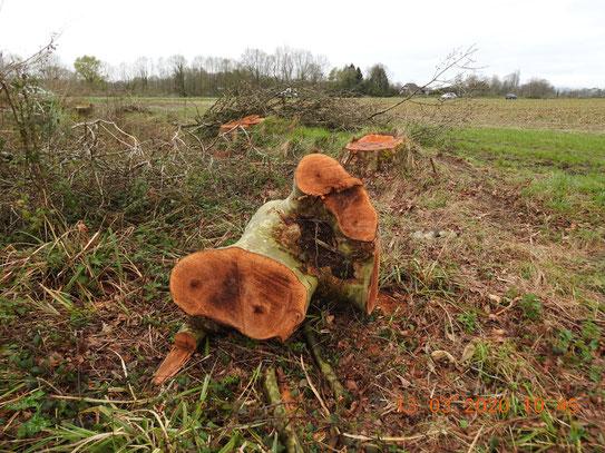 Les haies de remplacement, comporteront-elles des arbres de cette taille pour accueillir la biodiversité qui y vivait ? NON. ?