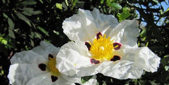 Cistrosenblüte