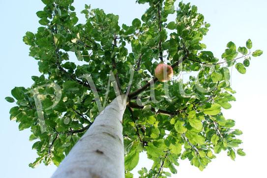 18.09.2015 : der junge Apfelbaum mit einer Frucht ...