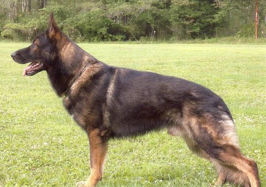 写真 父犬 タンガー