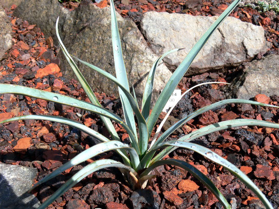 Yucca utahensis LZ 2025