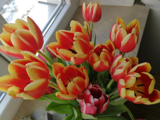 Tulpen als Frühlingsboten