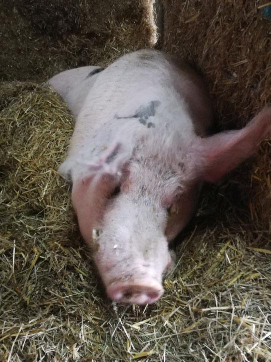 Schwein im Glück