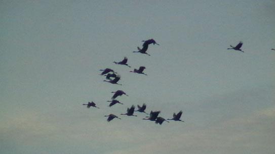 Grue cendrée ( Grus grus ) au Lac du Der octobre 2013