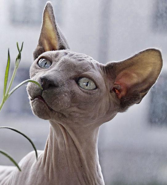 Haarlose Katze mit rudimentären Schnurrhaaren, Foto: Pixabay.com