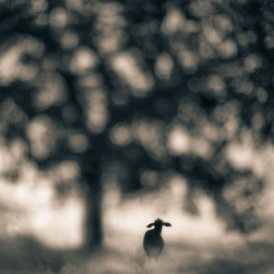 misia.nomadic.galleryTami Bone, Rancho, Mythos series, 2013. photography sheep tree