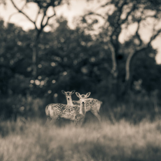 Tami Bone Texas Photography Mythos Kinfolk deer Black and white