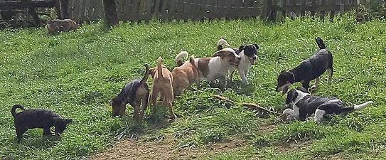 Welpen spielen im Hof Neyetal wo Hunde zu kaufen sind