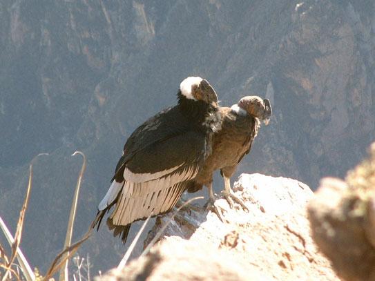 Buiten het fenomenale uitzicht wat je hebt in de Canyon, is de condor toch trekpleister nr.1. Je moet geluk hebben en op tijd komen........