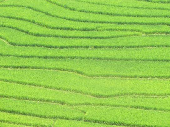 Rijstterrassen, een typerend beeld voor de omgeving in het noordelijk gelegen Hoang Liengebergte, dat ookwel bekend staat als de Tonkinese Alpen.