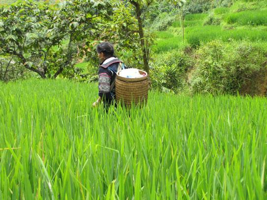 De arbeiders van Sapa (de vrouwen) op één van de vele uitgestrekte rijstvelden die het gebied rijk is.....
