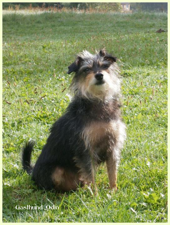 Gasthund Odin