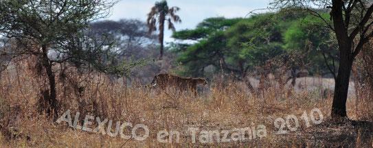 GUEPARDO (Cheetah) uno de mis depredadores favoritos