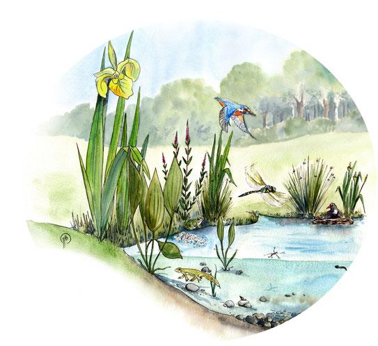 illustration, écosystème, biosdiversité, zone humide, nature, naturaliste