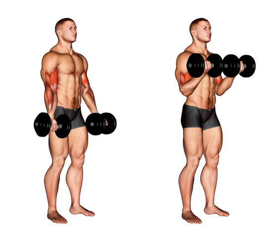 normal bicep curls exercises