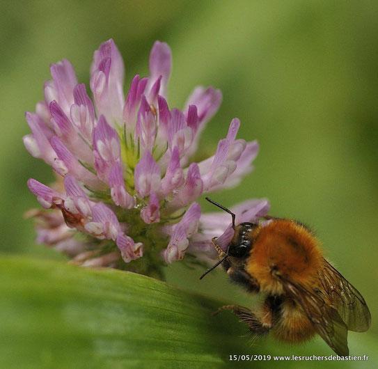 Bourdon butinant fleur de Trifolium pratens Cevennes