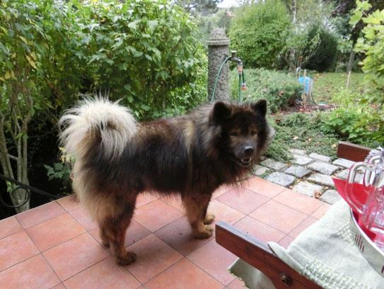 """Gastgeberhund Akela: """"Aki-Bär"""" ist mit seinen fast 11 ½ Jahren noch fit und schön"""