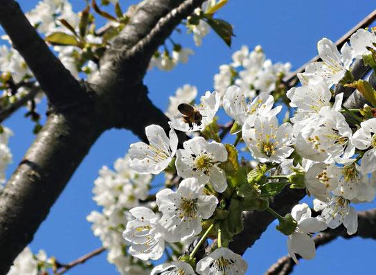 Kirschblüten mit Biene im Anflug von Thomas Benecke für Bienen-Blog von K.D. Michaelis