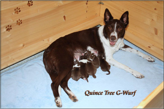 Quince Tree G-Wurf  *17.01.18 (2 Rüden / 3 Hündinnen)